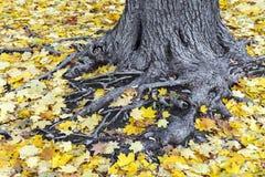 Det gamla trädet rotar dolt med gula lönnlöv royaltyfri bild