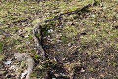 Det gamla trädet rotar med att intressera former under gräs royaltyfri fotografi