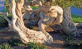 Det gamla twistedlMelaleuca trädet i Heisler parkerar, Laguna Beach, CA Arkivbild
