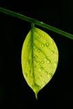 Det genomskinliga bladet med vatten tappar på svart backgro Arkivbilder