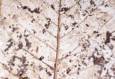 Genomskinlig leaf Royaltyfri Foto