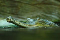 Det gharial Royaltyfria Bilder