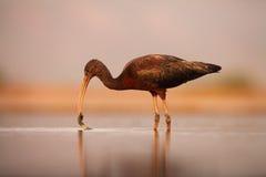Det glansiga ibisfisket i en grund lagun med en växt i näbb Arkivbilder