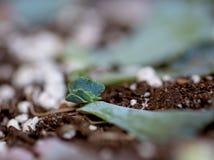 Det gröna blåa lockiga bladet som planterar suckulenten, behandla som ett barn Royaltyfria Foton