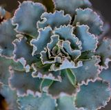 Det gröna blåa lockiga bladet som planterar suckulenten, behandla som ett barn Arkivfoton