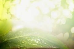 Det gröna bladet med vatten tappar över sommarnaturbakgrund med solsken och bokeh Royaltyfri Foto