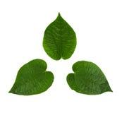 Det gröna Chaplo bladet Royaltyfria Bilder