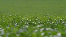 Det gröna gräset som svänger i vinden lager videofilmer