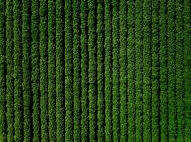 Det gröna landsfältet av potatisen med rad fodrar, den bästa sikten, flygbild royaltyfria foton