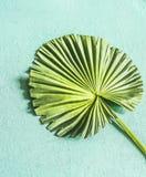 Det gröna tropiska bladet av fanen gömma i handflatan, den bästa sikten royaltyfri fotografi