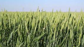 Det gröna vetefältet vinkar rört vid sommarvind stock video
