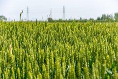 Det gröna vetet royaltyfri fotografi