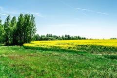 Det gr?na gr?set och tr?den i f?rgrunden och det gula rapsfr?f?ltet, naturlandskapbakgrund royaltyfri foto