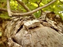 Det grekiska mutterträdet royaltyfri bild