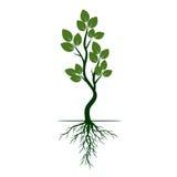 Det gröna trädet med rotar också vektor för coreldrawillustration Arkivfoton