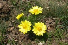 Det gula ögat för fasan` s är en älskvärd lös blomma arkivbild