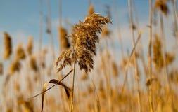 det gula fältet för vete och himmelbakgrunden arkivfoto