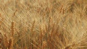 Det gula fältet som är klart att skörda vete På solnedgången härliga viktig från panelljuset i ramen stock video