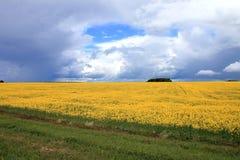 Det gula fältet som sås med, våldtar Royaltyfria Bilder