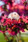 Det gulliga infallet tjaller sammanträde i rosa äppleblomning royaltyfria foton