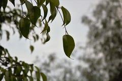 Det hängande bladet som ser till det grått, skidar arkivbild