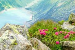 Det härliga alpina landskapet blommar fjällängar, Österrike Arkivbilder