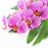 Det härliga brunnsortbegreppet av den blommande filialen rev av den violetta orkidén Arkivfoto