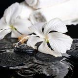 Det härliga brunnsortbegreppet av den delikata vita hibiskusen, zen stenar intelligens Royaltyfri Fotografi