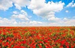 Det härliga fältet av den röda vallmo blommar med blå himmel och cloudscape royaltyfri foto