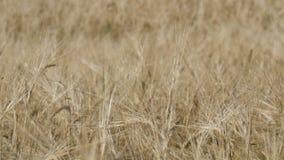 Det härliga fältet av moget vete, spikelets av vete svänger i vinden arkivfilmer