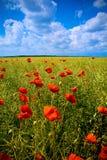 det härliga fältet blommar vallmored royaltyfria bilder