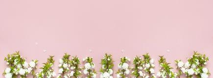 Det härliga försiktiga vårriset med vita blommor på en rosa lägenhet för bästa sikt för bakgrund lägger med utrymme för text Häls Royaltyfri Fotografi