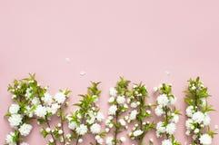 Det härliga försiktiga vårriset med vita blommor på en rosa lägenhet för bästa sikt för bakgrund lägger med utrymme för text Häls Arkivfoto