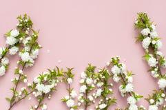 Det härliga försiktiga vårriset med vita blommor på en rosa lägenhet för bästa sikt för bakgrund lägger med utrymme för text Häls Arkivbilder