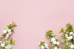 Det härliga försiktiga vårriset med vita blommor på en rosa lägenhet för bästa sikt för bakgrund lägger med utrymme för text Häls Royaltyfria Foton
