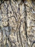 Det härliga grå färg- och svartträdskället är abstrakt konst och textur Royaltyfri Foto