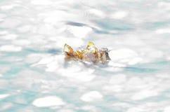 Det härliga höstbjörkbladet klibbade i kall flodström royaltyfria foton