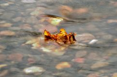 Det härliga höstbjörkbladet klibbade i kall flodström arkivbild