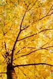 Det härliga höstträdet med stupat torkar sidor Royaltyfri Fotografi