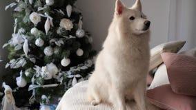 Det härliga husdjuret sitter på slags tvåsittssoffa stucken vit pläd och skäller nära det festively dekorerade julträdet arkivfilmer