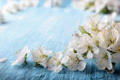 Det härliga krabbaplommonträdet blomstrar mot en blå bakgrund Royaltyfria Bilder