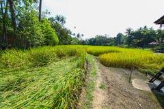 Det härliga landskapet av risfält Arkivbild