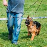 Det härliga lilla barnet svärtar på den tyska herden Puppy Dog Walking Arkivbild