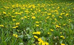 det härliga maskrosfältet blommar fjädern Royaltyfria Bilder