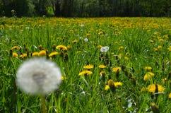 det härliga maskrosfältet blommar fjädern Royaltyfri Foto
