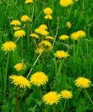 det härliga maskrosfältet blommar fjädern Arkivfoton