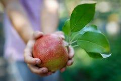 Det härliga mogna röda äpplet med gräsplansidor i barnhänder arkivbild
