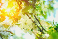 Det härliga och fridsamma ljusa slutet upp fotoet av äppleträdet blommar med solen Arkivbild