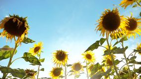 Det härliga solrosHelianthusfältet av guling blommar på en bakgrund av landskapet för blå himmel ultrarapidvideo Mycket stock video