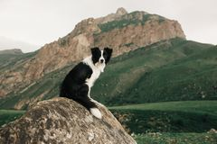Det härliga svartvita hundborder collie staget på vaggar i fält och blick in camera i bakgrundsgräsplanen royaltyfri fotografi
